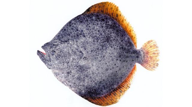 孕妇怀孕期间能吃多宝鱼,漠斑牙鲆,南方鲆吗