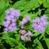 紫茎泽兰965086